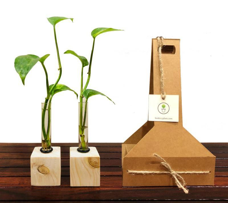 diwali gifts plants