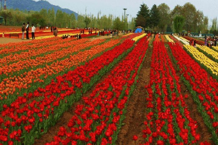 festivals in 2019 tulip festival srinagar