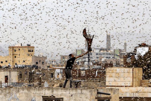 locusts in India